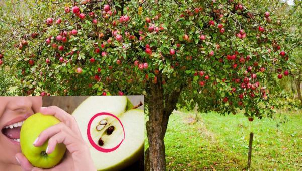 အိမ်မှာ အလွယ်တကူ ပန်းသီးပင် စိုက်ကြည့်ရအောင်