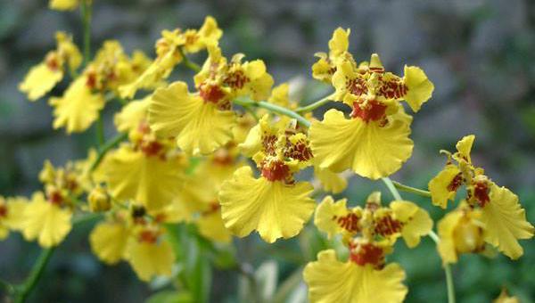 ဒန်းစင်းလေဒီ သစ်ခွ စိုက်ပျိုး ပြုစုနည်း (Oncidium orchid)