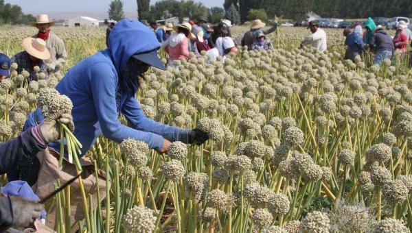 ကြက်သွန် စိုက်ပျိုးခြင်း ထုတ်လုပ်ခြင်း