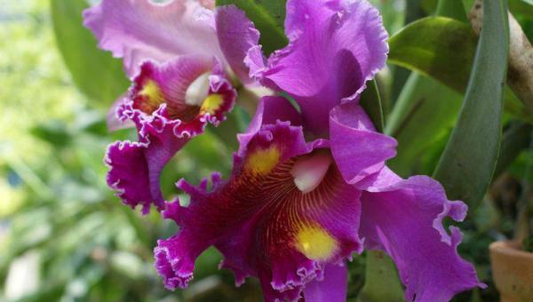 Cattleya orchid စိုက်ပျိုး ပြုစုနည်း