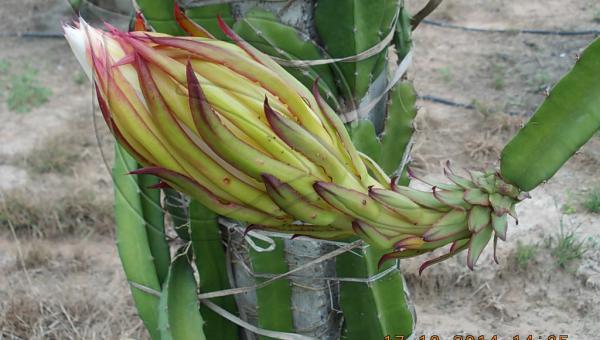 နဂါးမောက်စိုက်ပျိုးခြင်း - ဦးကျော်နိုင် (အပိုင်း ၂/၅)