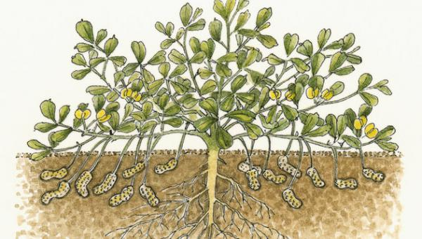 မြေပဲကို အစာကျွေးနည်း အကျဉ်းချုပ်