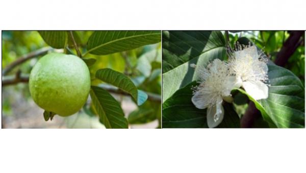 မာလကာပင် စိုက်ပျိုးနည်း