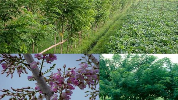 မြေပြန့် ချယ်ရီပင် (gliricidia) အား သစ်စိမ်းမြေသြဇာ အနေဖြင့် အသုံးပြုခြင်း