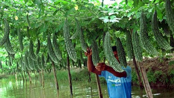 ကြက်ဟင်းခါးသီး စိုက်ပျိုးနည်း
