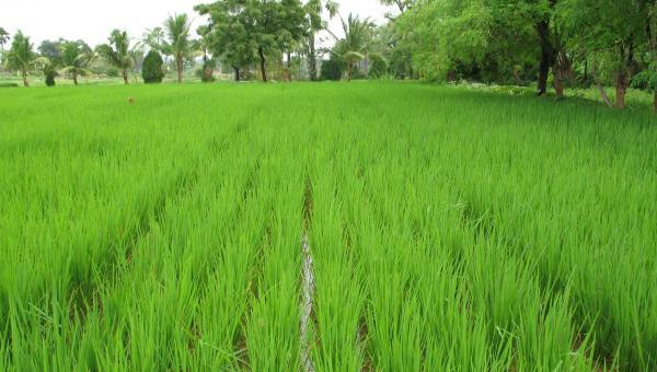 စပါးစိုက်ပျိုးနည်း (တောင်သူလက်စွဲ- ဦးဘဟိန်း) (၃)