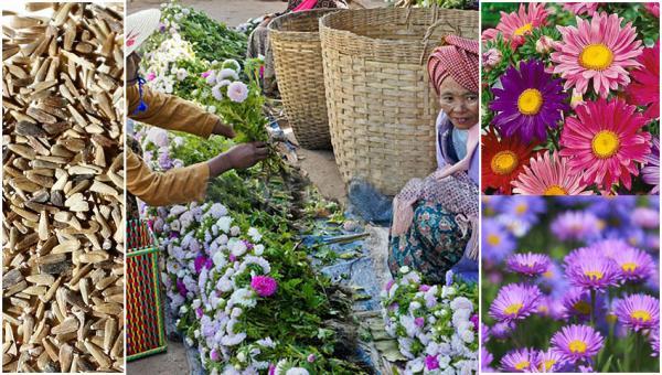 အရောင်အသွေး အစုံအလင်နှင့် လှပသော မေမြို့ပန်း စိုက်ပျိုးနည်း