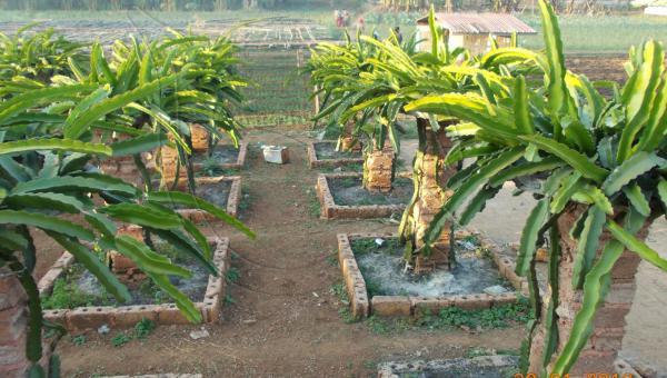 နဂါးမောက်စိုက်ပျိုးခြင်း - ဦးကျော်နိုင် (အပိုင်း ၃/၅)