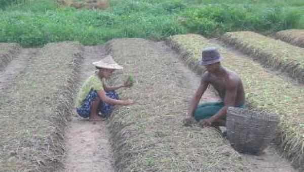 စိုက်ပျိုးရေးတွင် ကျင့်သုံးသင့်သည့် အလေ့အထကောင်းများ (၇)