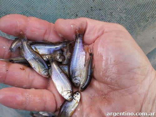 တိုင်းရင်းငါးငယ်ကလေးများမှ ငါးငယ်တစ်မျိုးဖြစ်သည် ငါးဘဲဖြူအား အိမ်၌ တစ်ပိုင်တစ်နိုင် မွေးမြူ ထုတ်လုပ်နိုင်ပါပြီ