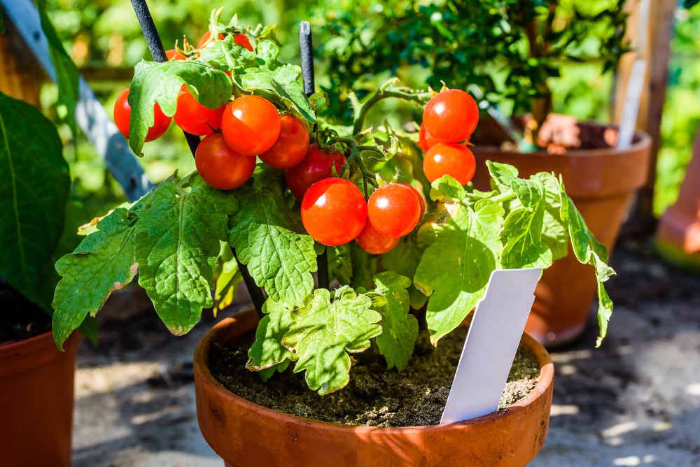 ချယ်ရီခရမ်းချဉ်သီးကို အိုး ဒါမှမဟုတ် ဗန်းနဲ့ ဘယ်လိုစိုက်ပျိုးမလဲ?