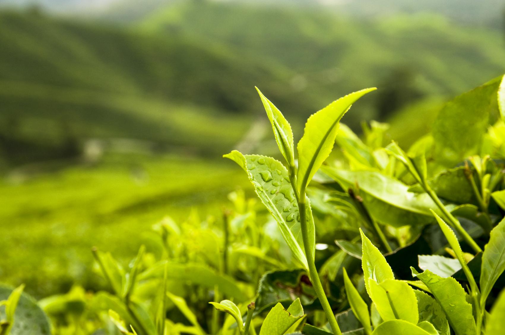 လက်ဖက်ခြောက် ပြုလုပ်နည်း (Green Tea Processing Pressed)