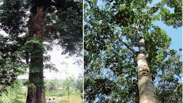 ရော်ဘာပင် အကြောင်း သိကောင်းစရာ အပိုင်း (၂)
