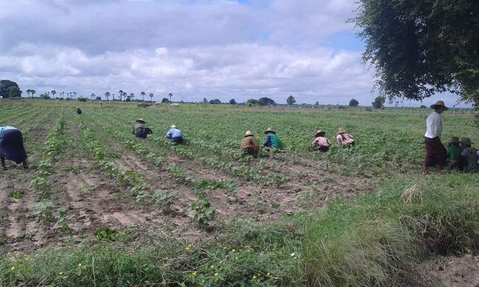 မကွေးတိုင်းတွင် ဝါဈေးနှုန်းကောင်း၍ စိုက်ပျိုးသူများလာ