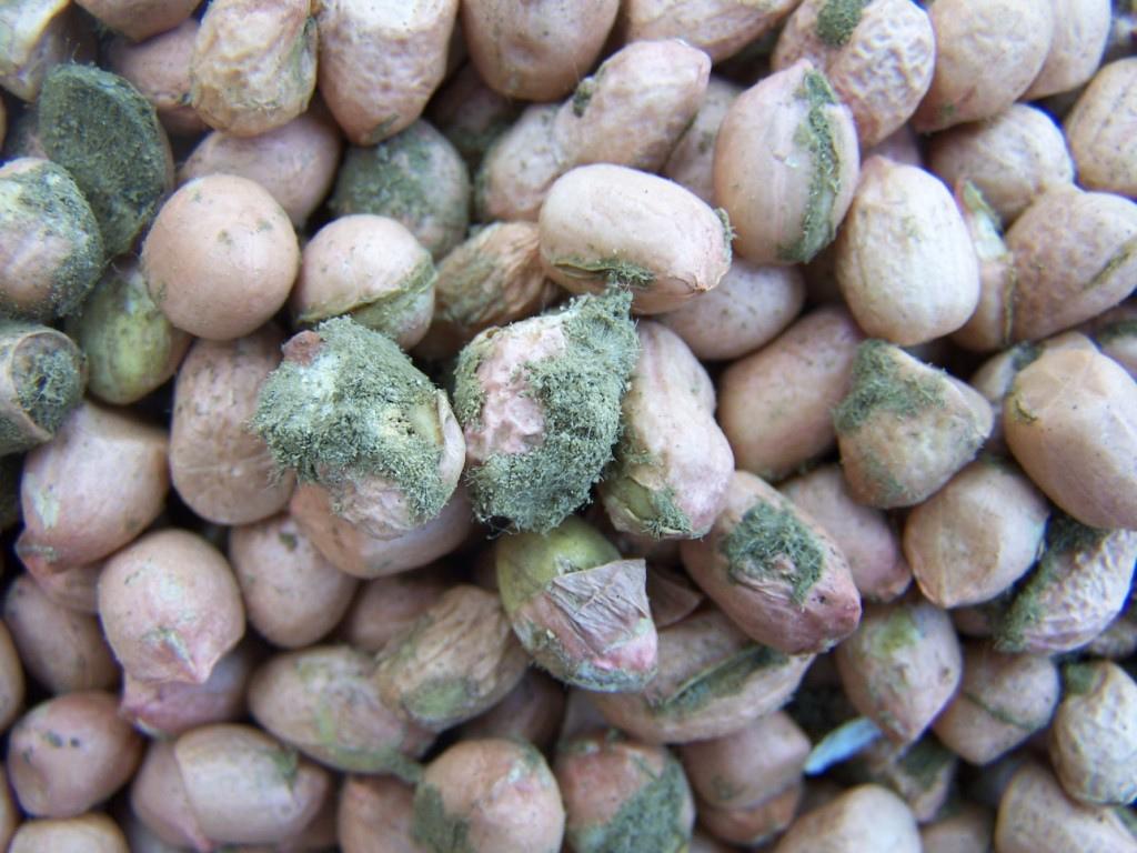 သတိပြုစေချင် အဖ်လာတော်ဆင် (Aflatoxin)  (အပိုင်း ၂)