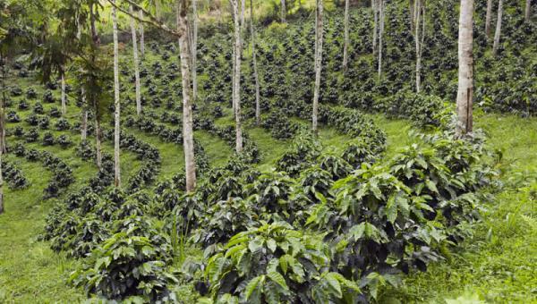 ရေရှည် အကျိုးပြုစေနိုင်မယ့် သီးနှံသစ်တော ရောနှော စိုက်ခင်း