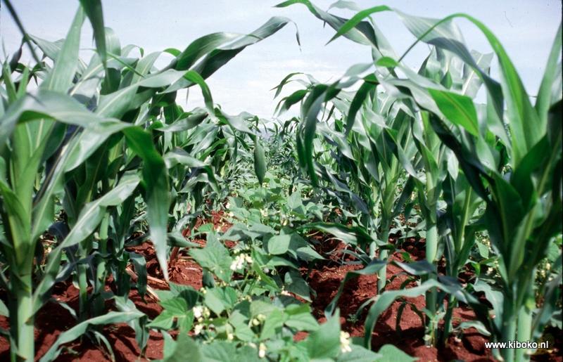သီးနှံမျိုးစုံ စိုက်ပျိုးရေး (ပြောင်းဖူးနှင့် ပဲမျိုးစုံ)