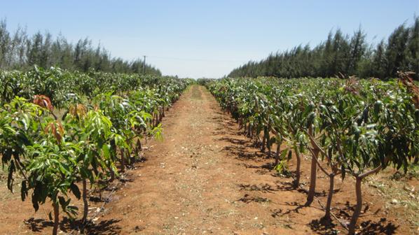 သစ်သီးပင်များအတွက် ရေသွင်းရေပေးဝေရေးနည်းစနစ်များ