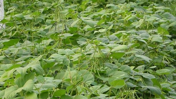 ပဲတီစိမ်း စိုက်ပျိုးနည်းဆိုင်ရာ အလေ့အကျင့်ကောင်းများ
