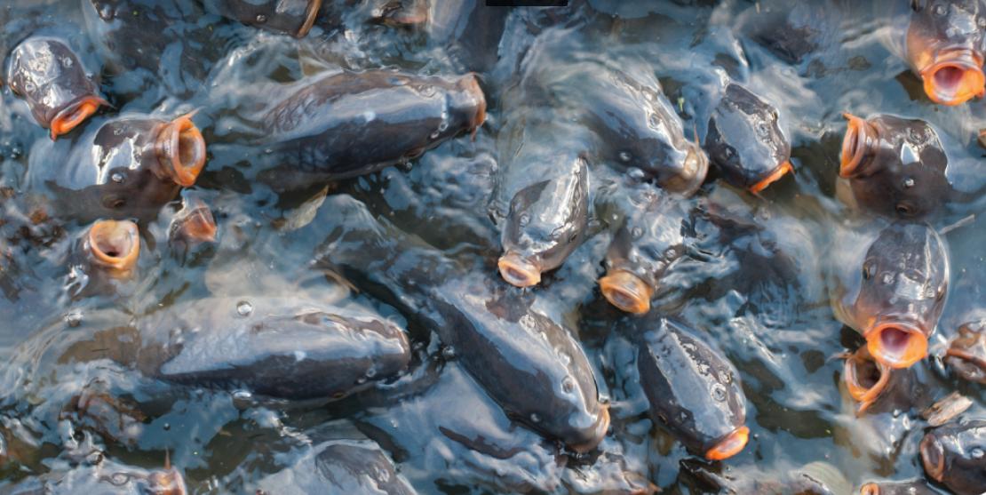 သင့်ငါးကန်က ငါး/ပုဇွန်တွေ သေဆုံးမှုကို ဘယ်လိုလျှော့ချကြမလဲ