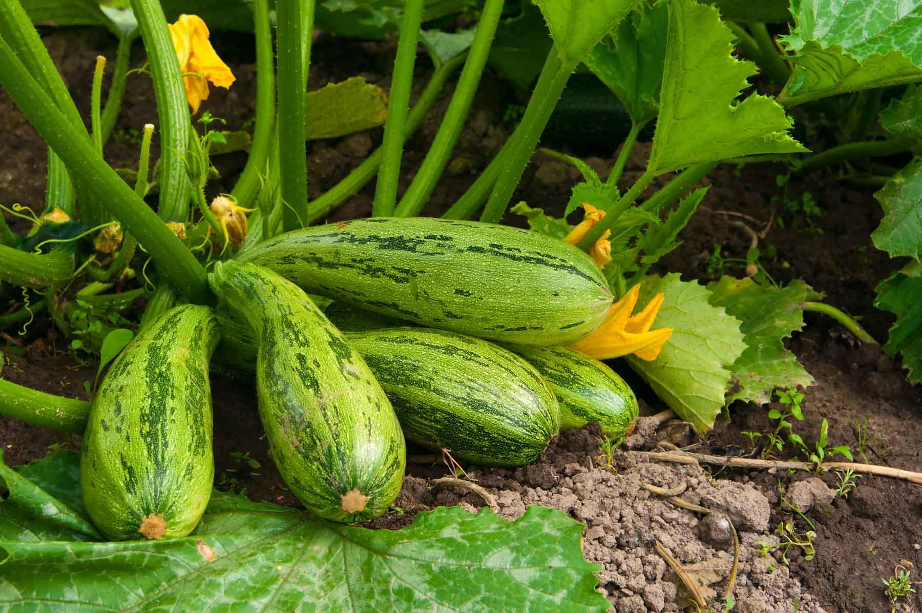 """ဇူကီးနီး """"ခေါ်"""" ဖရုံသခွား စိုက်ပျိုးနည်းစနစ်"""