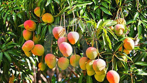 သရက်ပင်၏ ပွင့်သီးကြွေကျမှုပြသနာ