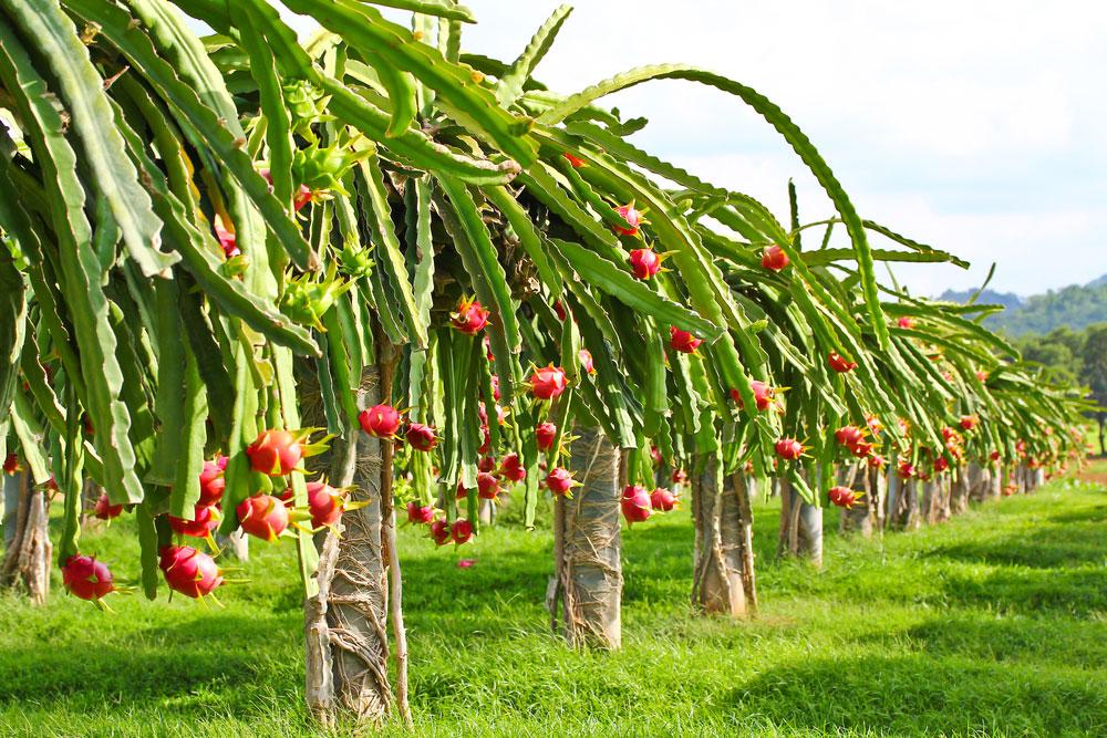 စားသုံးမှုပုံစံအသစ်နဲ့ နဂါးမောက်သီး