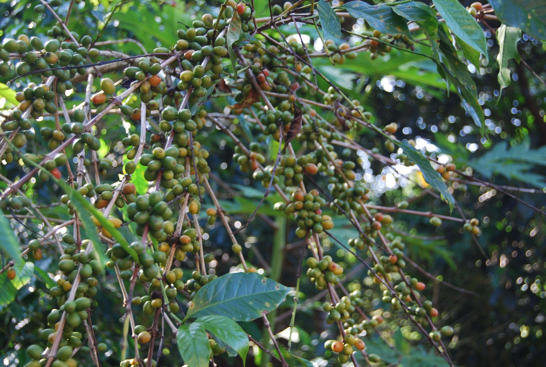 ကော်ဖီခြံပေါင်း ၄၀ ကျော်မှ အရည်အသွေးမီ ပျိုးပင်များ ဖြန့်ချီပေး