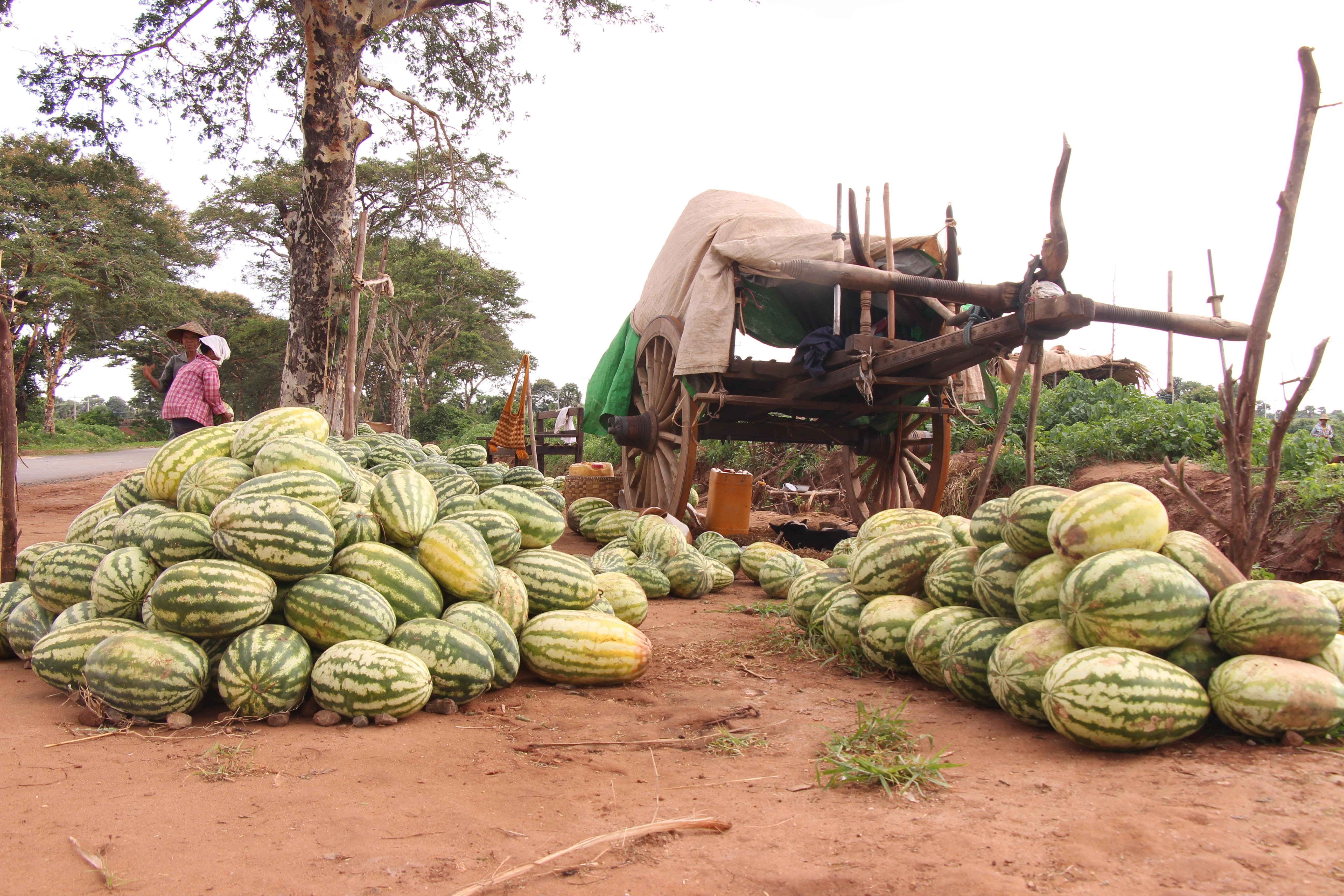 သာစည်မြို့နယ်တွင် ဖရဲနှင့်သခွား သီးနှံကို တောင်သူအချင်းချင်း စုပေါင်းစိုက်ပျိုးမည်