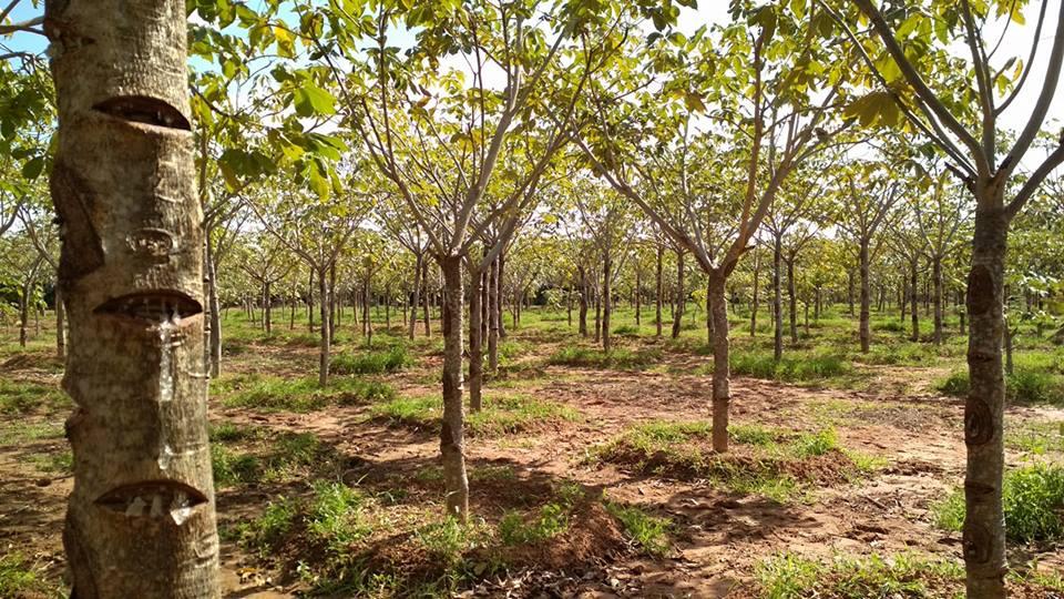 စနယ်မြေစေး ရွံစေး ကျစ်မြေတွင် စိုက်ပျိုးခြင်း
