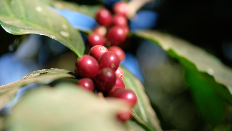 ကော်ဖီစိုက် တောင်သူများကို အမေရိကန်နိုင်ငံ ပညာရှင်များမှ ကော်ဖီကြိတ်ခွဲနည်း သင်တန်းပေးမည်