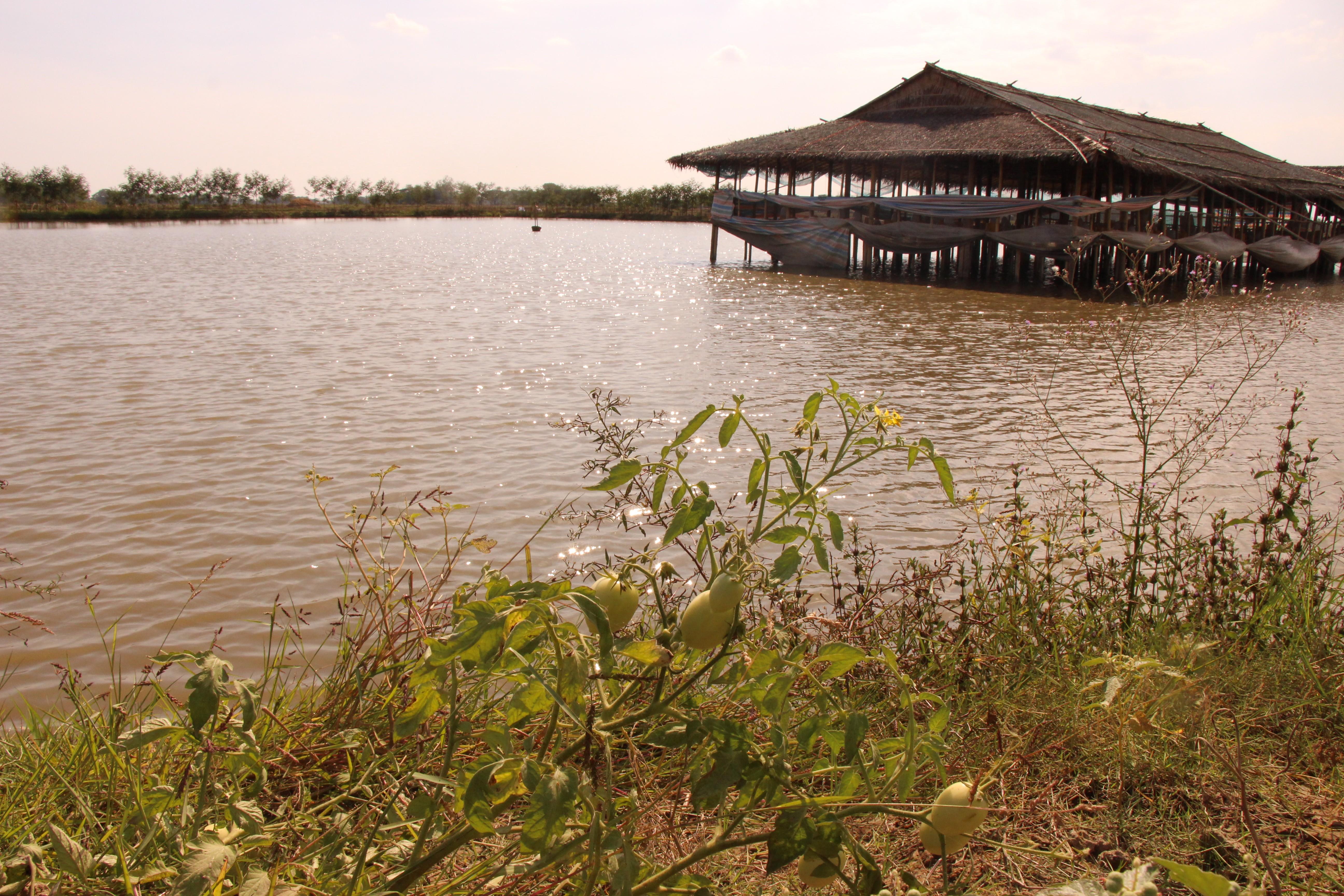 အရပူရမြို့နယ်အတွင်းရှိ စပါးကွင်းများ၌ စပါးစိုက်ခြင်းနှင့်အတူ ငါးမွေးနိုင်ရန် ကူညီပေးမည်