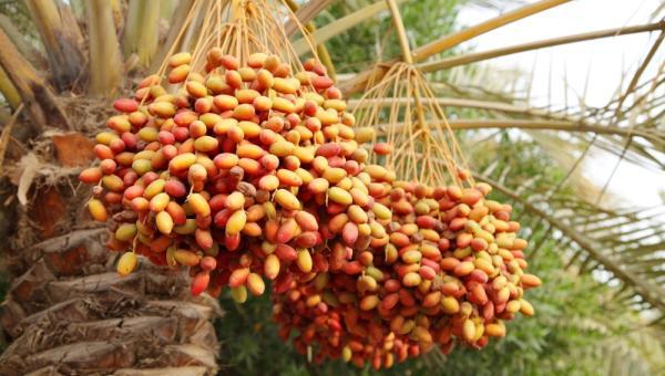 စွန်ပလွန်သီးအပင် (ခေါ်) Date Palm စိုက်ပျိုးနည်း