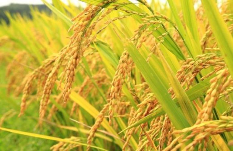 လယ်သမားတို့ ညီညွတ်လျှင် စပါးဈေးကွက်တိုးချဲ့နိုင်မည်