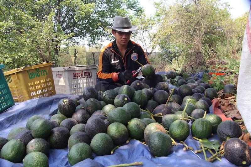 ထောပတ်သီးကို တရုတ်နိုင်ငံ၏ AQSIQ စာရင်းတွင် ပါဝင်လာရေးအတွက် ပထမဦးစားပေး ဆောင်ရွက်နေ