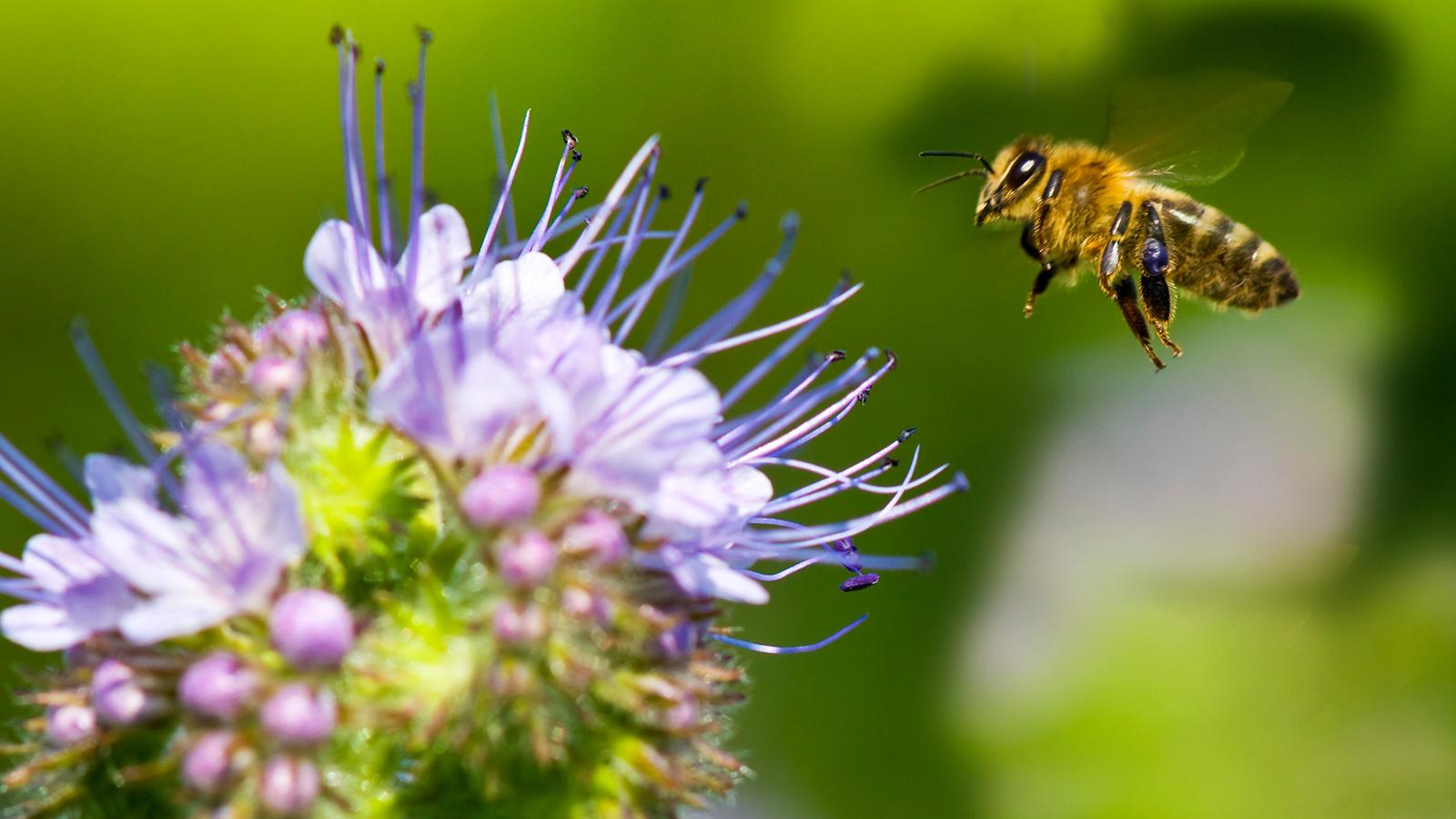 ပျားများ၏ အသုံးဝင်ပုံများ