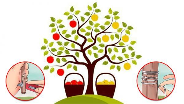 အပင် တစ်ပင်တည်းမှာ အပွင့်ရောင်စုံ၊ အသီးနှစ်မျိုးသုံးမျိုး သီးနိုင်စေရန် ဘယ်လို လုပ်မှာလဲ။