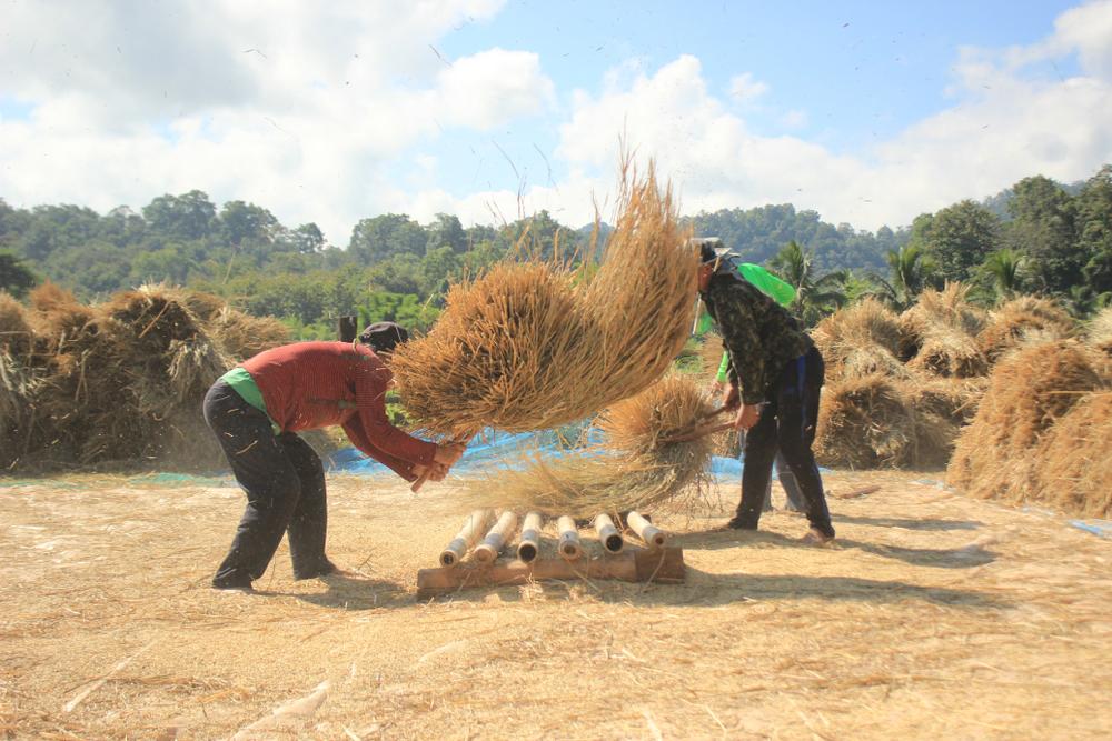 ဆန်စပါးစံချိန်စံညွှန်း မူကြမ်းရေးဆွဲမှုနောက်ဆုံးအဆင့်ရောက်ရှိ