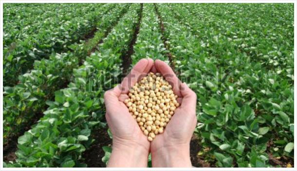 ပဲပုပ်(Soybean) စိုက်ပျိုးနည်း