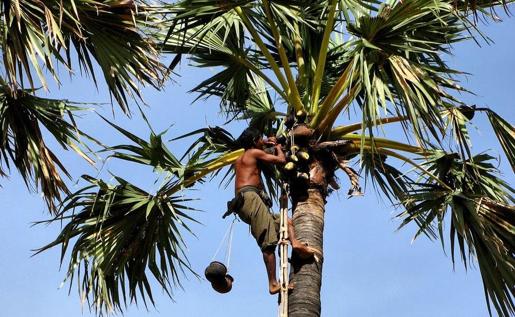 ထန်းတက်လုပ်သားရှားပါး၊ ထန်းတောများ ပြုန်းတီးမည့်အရေး စိုးရိမ်နေရ