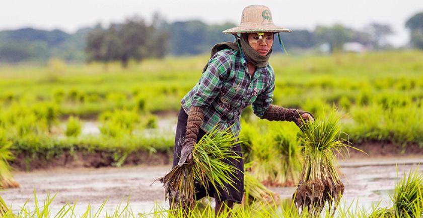 စိုက်ပျိုးထုတ်လုပ်မှုအောင်မြင်ရေးအတွက် အဓိကအချက်များ (စပါးသီးနှံ)