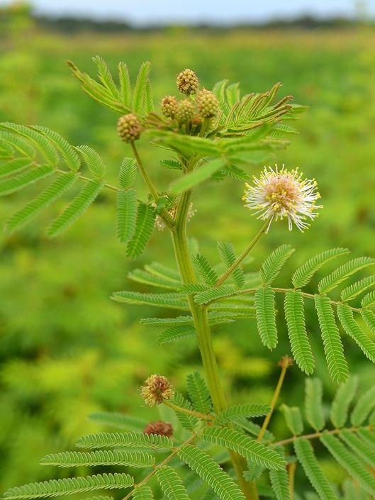 နွားမွေးမြူရေးအတွက် ဒစ်မန်းသပ်စ် (Desmanthus) စားကျက်ပင်