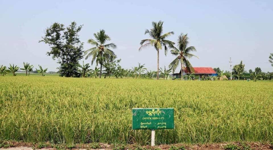နွေစပါးသီးထပ်အဖြစ် စိုက်ပျိုးရန်သင့်တော်သည့် သက်တမ်းတို၍ အထွက်နှုန်းကောင်းသော ရွှေရီတိုးစပါး