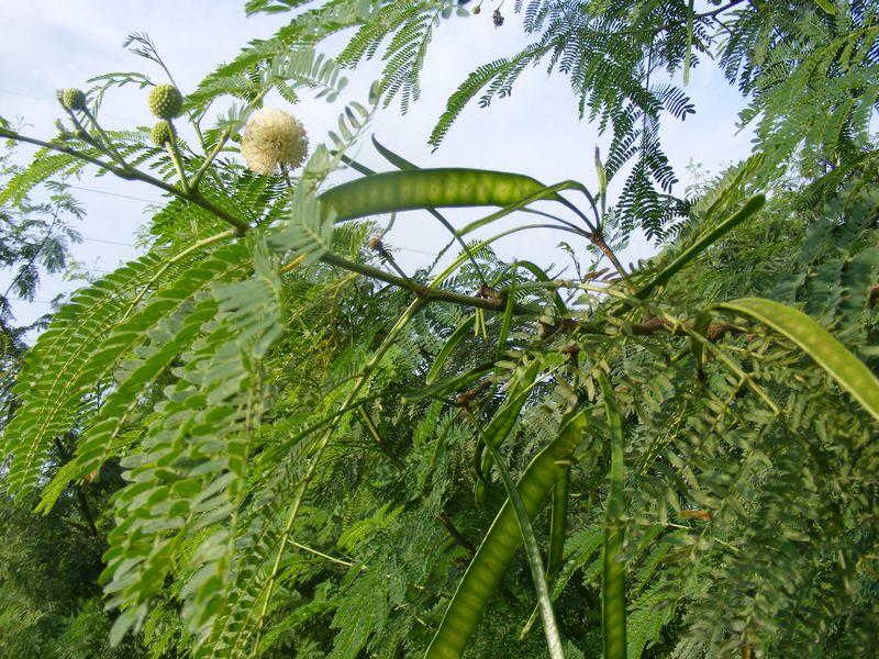 ဘောစကိုင်းပင်နှင့် မြေဆီလွှာထိန်းသိမ်းခြင်း